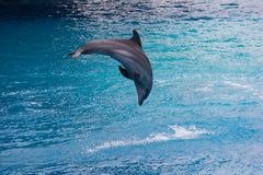 Dolphin jumping 2. Photo of a dolphin jumping in the pool stock photo