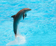 Dolphin. Jumping in the pool during acrobatic show Stock Images