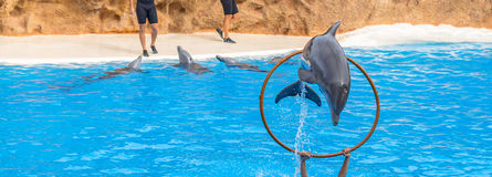 Dolphin Jumping Through a Ring. In a park show royalty free stock photos