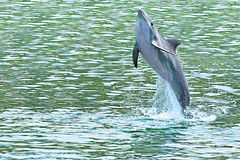Dolphin jumping of the sea. In Mexico Stock Photo