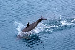 Dolphin jumping in the sea. Dolphin jumping in the black sea stock photos