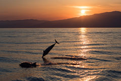 Dolphin while jumping in the sea at sunset Stock Image