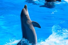 Dolphin jumping. Single dolphin jumping out of the water stock images
