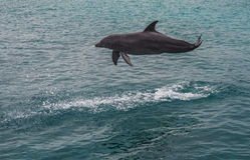 Dolphin jumping and splashing Royalty Free Stock Image