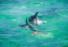 Dolphin Jumping in turquoise water near San Pedro, Belize. Dolphin Jumping in turquoise water near San Pedro island, Belize stock photo