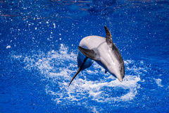 Dolphin jumping into the water royalty free stock images