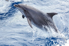 Dolphin jumps out of the water Royalty Free Stock Photography
