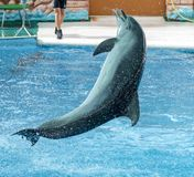 Dolphin jumps from the pool in the park.  stock photography