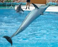 Dolphin jumps from the pool in the park.  stock image
