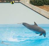 Dolphin kicking Ball Royalty Free Stock Photo