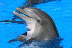 Dolphin. Laughing dolphin pokes his head out of the water Royalty Free Stock Image
