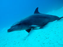 Dolphin, lazy underwater Stock Image