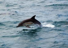 Dolphin Leap Royalty Free Stock Photo