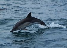 Dolphin Leap. Common Dolphin leaping from the water off the South Devon coast Royalty Free Stock Photo