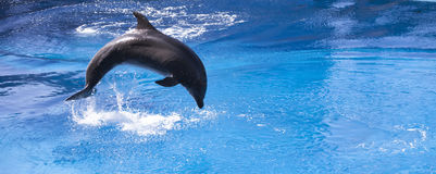 Dolphin leaping into blue water. Single dolphin leaping in water Royalty Free Stock Photography