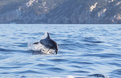A dolphin leaping out of the blue water in the sea Royalty Free Stock Photo