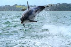 Dolphin leaping playfully in the wake of a boat royalty free stock photo