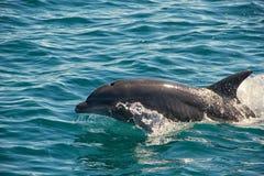 Wild Dolphin Stock Photography