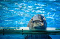 Dolphin in Lisbon Zoo. Dolphinarium, dolphins show in Lisbon Zoo (Portugal Royalty Free Stock Image