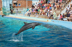Dolphin marine world show Tursiops. Bottlenose dolphin Tursiops leaping out of a seawater pool during a demonstration of dolphin behaviour at a marine world Royalty Free Stock Photography