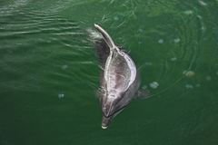 Dolphin and medusas Royalty Free Stock Photography