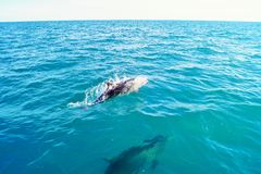 Dolphin. Meeting with dolphins in the sea Stock Image