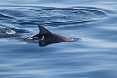 Dolphin mother and calf. In Platypus Bay Stock Photos