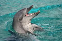 Dolphin With Mouth Open Stock Photography