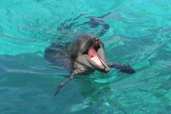Dolphin with Mouth Open Stock Images