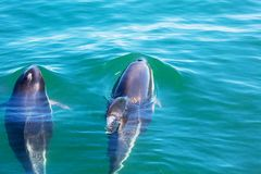 Dolphin. In ocean,Argentina stock images