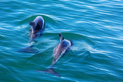 Dolphin. In ocean, Argentina Stock Image