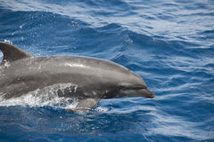 Dolphin on ocean surface. A view of a dolphin swimming nearby on the surface of calm, blue water Stock Images
