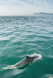 Dolphin in the ocean Royalty Free Stock Image