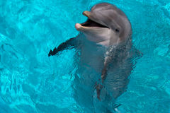 Dolphin Open Mouth. A barking? Bottlenosed dolphin Royalty Free Stock Photos