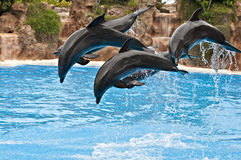 Dolphin pack. Pack of 5 dolphins perform a jump stock photos