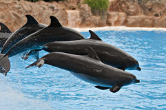 Dolphin pack Royalty Free Stock Photography
