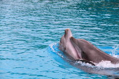 Dolphin pair in blue water royalty free stock photo