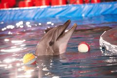 Dolphin performance Royalty Free Stock Photo