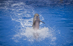 Dolphin performance. In Palmitos Park, Gran Canaria Royalty Free Stock Photography