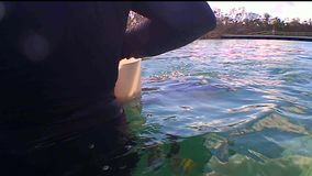 Dolphin performing aquapark swimming on surface and underwater. Dolphin show coach show tropical fish moving shot under water stock video footage