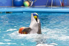 Dolphin performing, playing in the pool water with two colored ball. royalty free stock photography