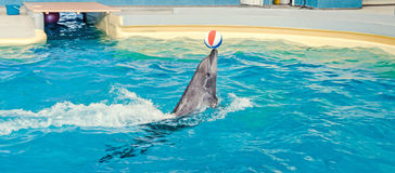 Dolphin performing in the pool water with colored beach ball royalty free stock photo