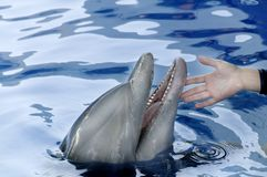 Dolphin and Person's Hand Stock Image