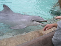 Dolphin Royalty Free Stock Image