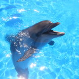 Dolphin Picture. Bottlenosed Dolphins in blue water royalty free stock photo