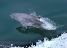 Dolphin at play 1 Royalty Free Stock Photo