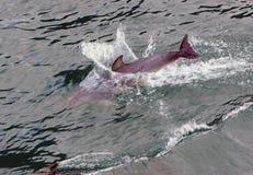 Dolphin at play 11 Royalty Free Stock Photos