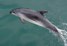 Dolphin at play 15 Royalty Free Stock Images