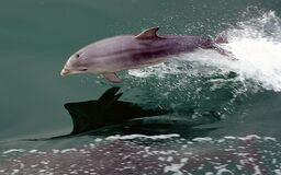 Dolphin at play 2 Stock Photography