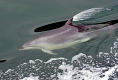 Dolphin at play Stock Photos